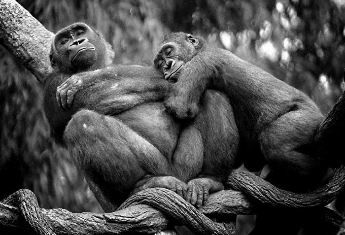 animal-couples-apes__880.jpg