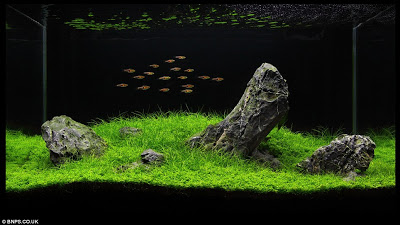 Zen and the art of fish tank maintenance 'Aquascapers' herald the end for treasures chests and shipwrecks with arty installations  2.jpg